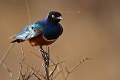 肯尼亚starling雄伟 库存图片
