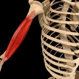肱骨肌肉 免版税库存图片