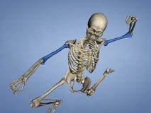 肱骨M-SKEL-HUMERUS Sk1, 3D模型 免版税库存图片