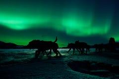 育空拉扯在北极光下的拉雪橇狗队 免版税库存图片