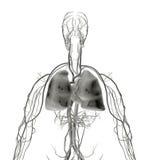 肺光芒x 库存例证