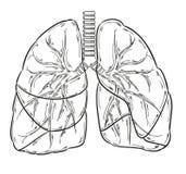 肺剪影 免版税库存图片