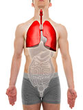肺男性-内脏解剖学- 3D例证 免版税库存照片