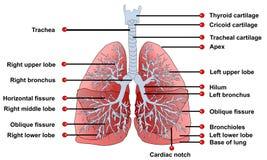 肺解剖学 库存照片