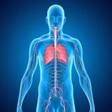 肺 免版税图库摄影