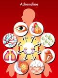 肾上腺素 库存图片