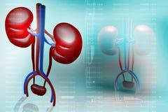 肾脏的数字式例证 图库摄影