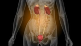 肾脏的X-射线 向量例证