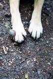 肿瘤细节在前面狗的腿-癌症的 免版税图库摄影