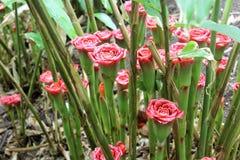 肿胀玫瑰 库存图片