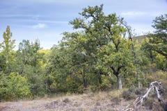 胆汁橡木森林 库存图片