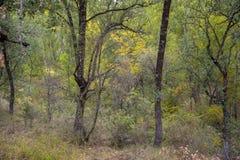 胆汁橡木森林 库存照片