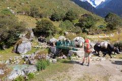 背包徒步旅行者站立的下座桥梁,当横渡运载的hea时的牦牛 库存图片