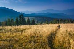 背包徒步旅行者通过在秋天山的高草走 免版税图库摄影