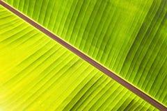 背后照明新鲜的绿色香蕉树纹理抽象背景离开 宏观图象美好的充满活力的热带尖的叶子foliag 库存图片