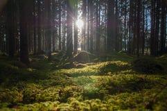 背后照明通过树在森林里 免版税库存照片