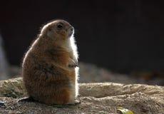背后照明groundhog 免版税库存照片