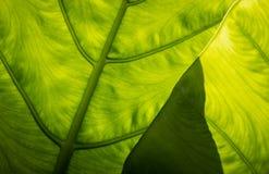 背后照明Venation 免版税图库摄影