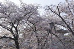 背景、街灯和樱花在大阪城堡在日本 图库摄影