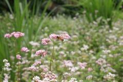 背景与蜂的越南花 免版税图库摄影