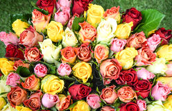 背景五颜六色的玫瑰 美丽,优质,有益于假日,华伦泰的礼物 库存图片
