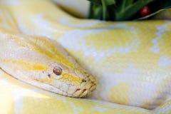 背景例证毒蛇白色 图库摄影