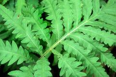 背景充满活力蕨的绿色 库存图片