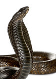 背景关闭眼镜蛇ofegyptian白色 库存照片
