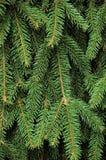 背景冷杉新鲜的绿色针枝杈 免版税库存图片