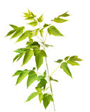 背景分行查出的槭树白色 免版税库存图片
