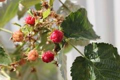 背景分行查出的莓白色 免版税库存照片