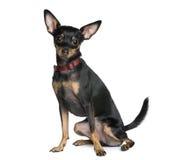 背景前微型短毛猎犬白色 免版税图库摄影