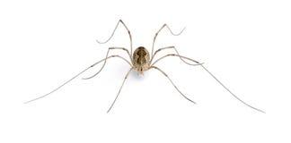 背景前盲蛛目蜘蛛白色 库存图片
