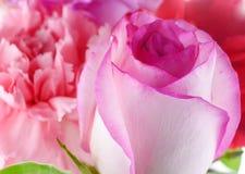 背景包括桃红色玫瑰和康乃馨在白色背景 免版税库存图片