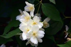 背景区别花茉莉花好的季节性主题 精美的秀丽 颜色夏令时照片 库存图片