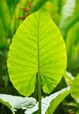 背景叶子棕榈树 免版税库存照片