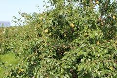背景叶子绿色梨梨红色结构树 库存照片