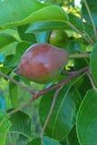 背景叶子绿色梨梨红色结构树 库存图片
