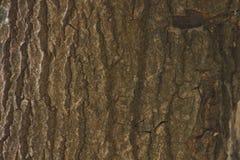 背景吠声纹理结构树 剥皮追踪崩裂树的吠声 库存图片