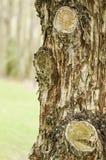 背景吠声结构树 免版税库存照片