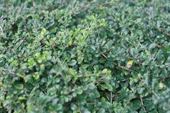 背景和纹理的绿色灌木 库存照片
