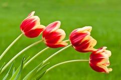 背景四绿色红色郁金香黄色 库存图片