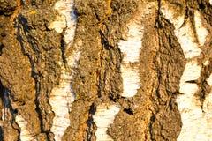 背景在落日的白桦树皮 结构背景 库存照片