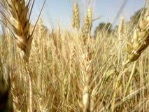 背景在麦子白色的被编组的查出的对象 免版税库存照片