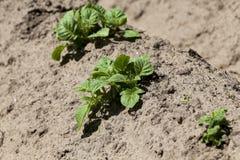 背景域开花的编号种植空白土豆的土豆 特写镜头 图库摄影