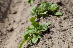 背景域开花的编号种植空白土豆的土豆 特写镜头 免版税库存照片