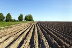 背景域开花的编号种植空白土豆的土豆 犁沟 免版税库存图片