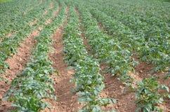 背景域开花的编号种植空白土豆的土豆 免版税库存照片