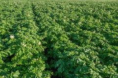 背景域开花的编号种植空白土豆的土豆 库存照片