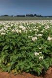 背景域开花的编号种植空白土豆的土豆 库存图片